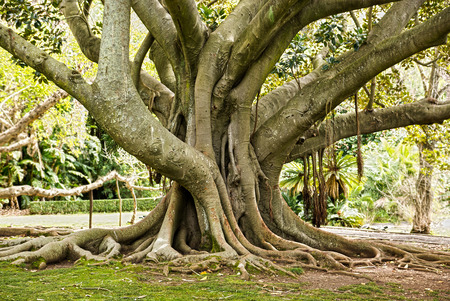 r image: old gum tree in Lisbon