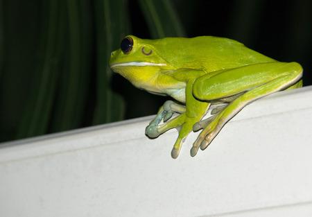lurking: White-lipped tree frog Stock Photo