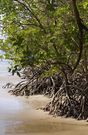 port douglas: Mangrove in Queensland Stock Photo