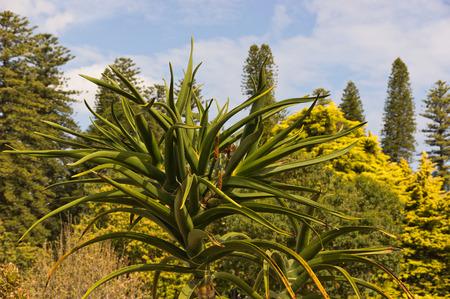 agave: Agave en Australia del Sur