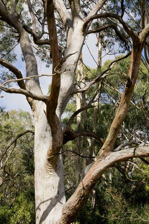 eucalyptus tree: eucalyptus tree in Australia