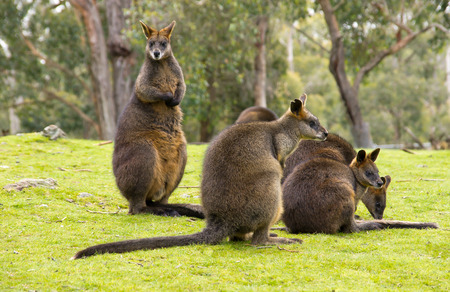 trustful: Group of kangaroos in Australia