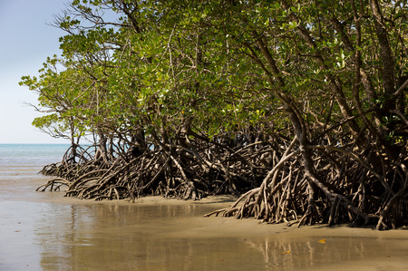 queensland: Mangrove in Queensland, Australia