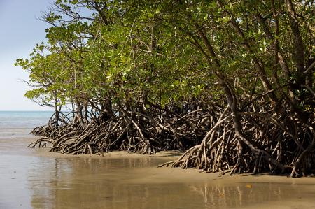port douglas: Mangrove in Queensland, Australia