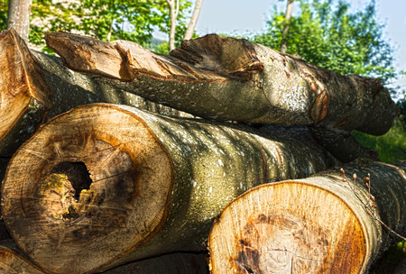 barque: felled trees in Black Forest in Germany Stock Photo