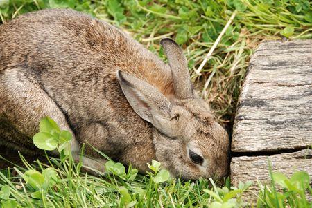 den: rabbit by den entrance Stock Photo