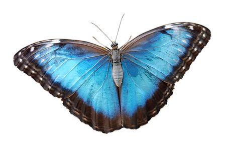 morpho menelaus: Isolated blue morpho menelaus Butterfly Stock Photo