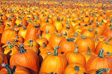 large pumpkin: Large Pumpkin patch