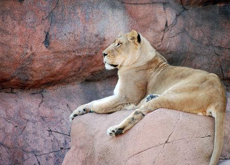 Female Lion on a rock resting photo
