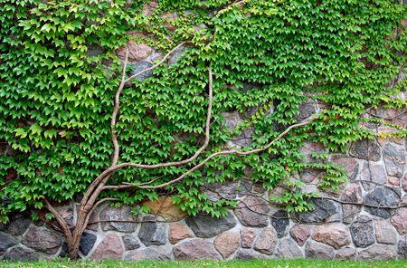 Vine growing on a rock wall Foto de archivo