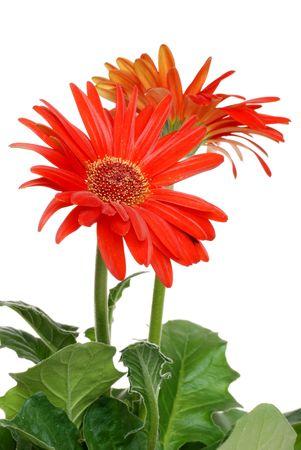 Isolated red Gerbera daisy photo
