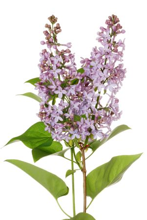 purple lilac: Isolated purple lilac