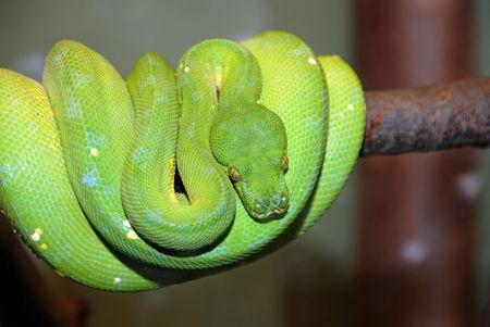coiled: green tree python snake, Chondropython viridis Stock Photo