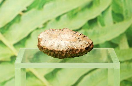 fossilized nut Reklamní fotografie
