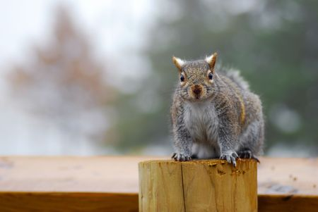 Grey Squirrel sitting on a post photo