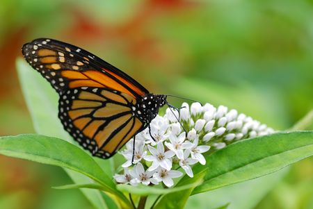 De la mariposa Monarca en las flores de color blanco con un fondo verde y rojo Foto de archivo - 5675603