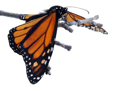 plexippus: Monarch butterfly with wings down Stock Photo