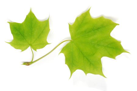 two isolated young maple leaves photo