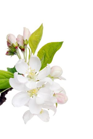 flowering apple tree Stock Photo - 5698006