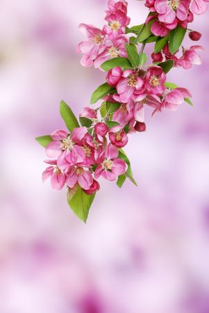 pink apple blooms branch Stock Photo - 5698036