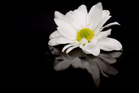 White daisy on black with reflection Banque d'images