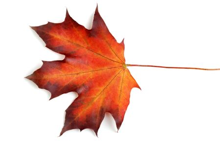 canadian maple leaf in the autumn