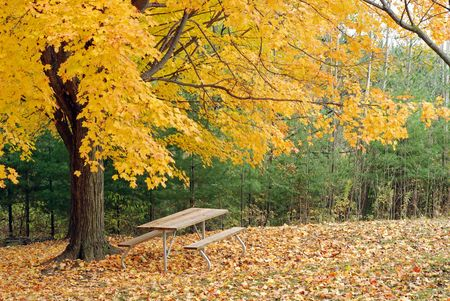 picnic table under a beautiful yellow maple tree photo