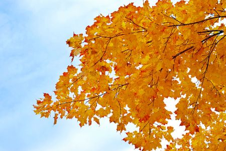 yellow maple leaves with sky photo