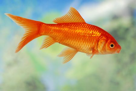 closeup of a Gold Fish swimming in a tank photo