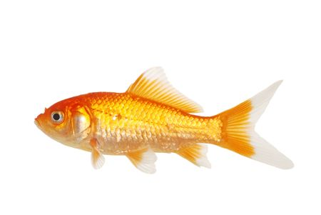 Isolated White Tip Gold Fish Stock Photo - 6400196