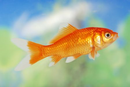 pez dorado: Blanco Consejo Gold Fish  Foto de archivo