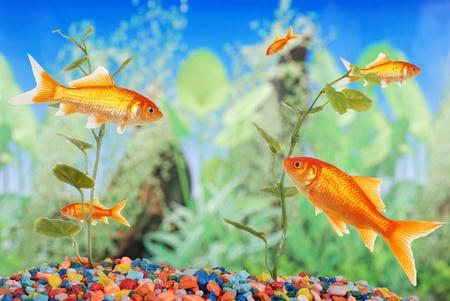 fishtank with goldfish photo