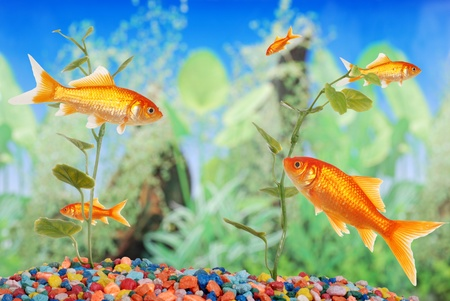 colorful fishes: fishtank with goldfish