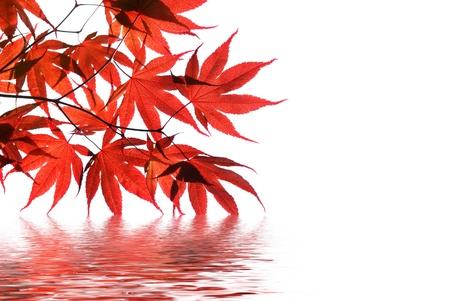 水の反射と隔離された赤いもみじ