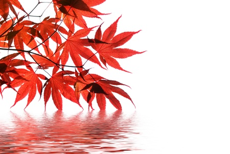 red maples: isolated red japanese maple with water reflection Stock Photo