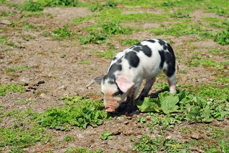 spotted pig Stock Photo - 9927488