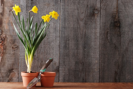 daffodils still life photo