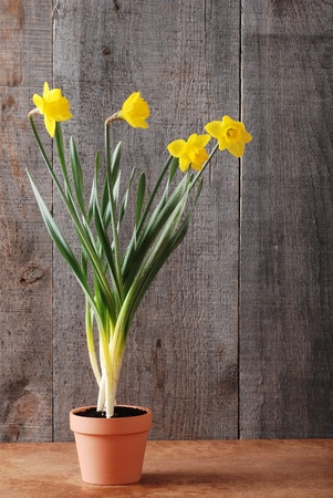 Daffodils in clay pot Stock Photo