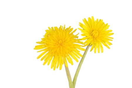 unwanted flora: two dandelions Stock Photo