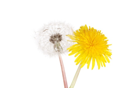 Dandelion flower and seeds photo