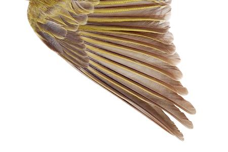 goldfinch: Closeup female gold finch wing