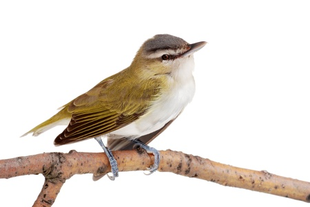 goldfinch: Closeup of a female gold finch