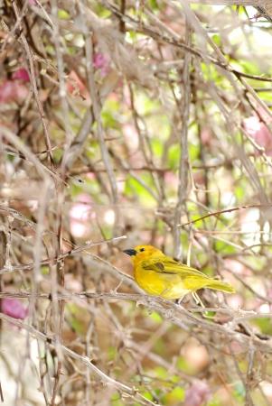 goldfinch: Grassland Yellow Finch
