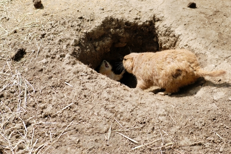 Mother and baby prairie dog by den Stock Photo - 13984879