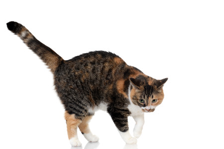 calico cat: calico and tabby cat mix