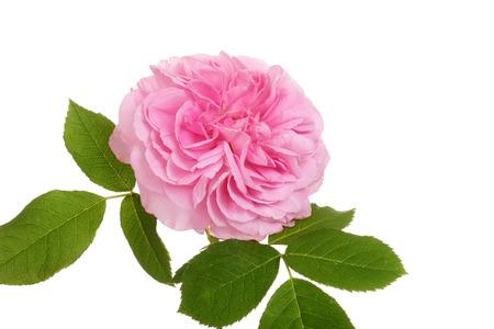 old english: old fashioned english rose