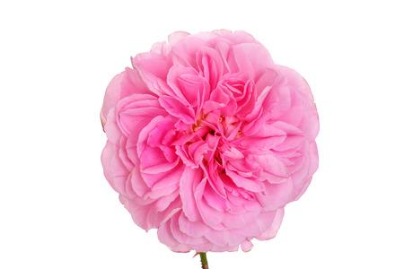 isolated pink english rose