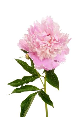 paeonia: peony Paeonia lactiflora