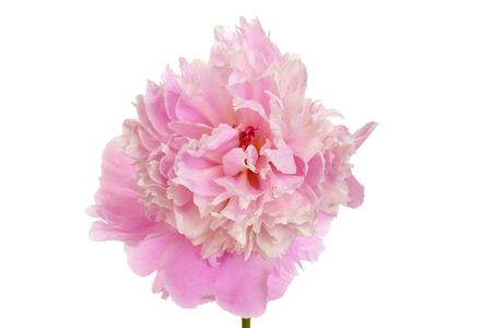 paeonia: macro peony Paeonia lactiflora