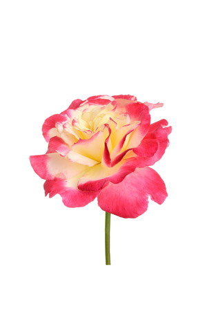 isolated Double Delight Hybrid Tea Rose